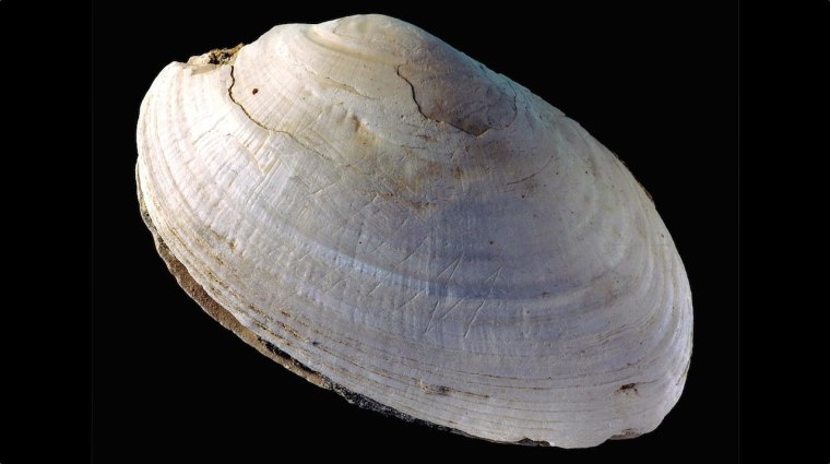 "The shell (Pseudodon) with the engravings, includes several slashes and an ""M"" shaped zigzag, made by Homo erectus at Trinil."