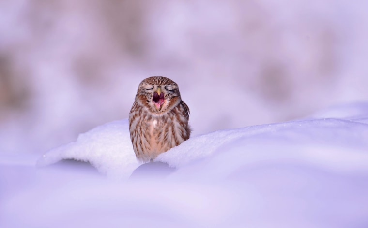 epa04514067 A small owl yawns as it sits in the snow in Ansung City, Gyeonggi province, South Korea, 04 December 2014. Snow continued to be forecast in the region on 04 December.  EPA/KIM JAE-SUN