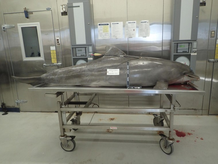 Image: NOAA photo of a dolphin killed with a hunting arrow in Orange Beach, Alabama
