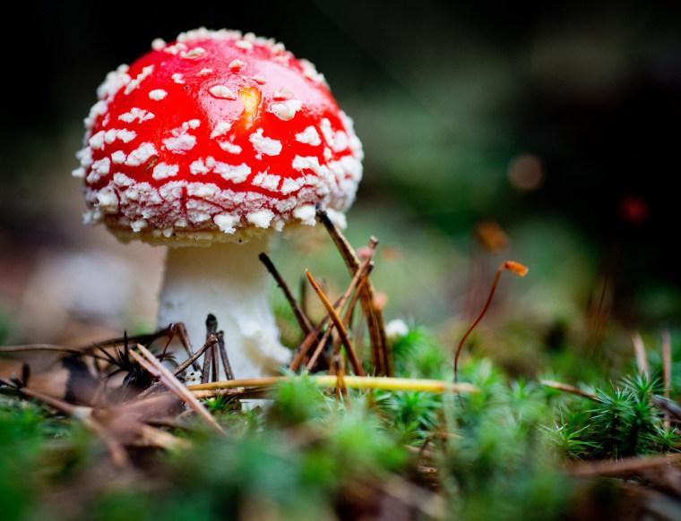 Image: A fly agaric (Amanita muscaria) mushroom