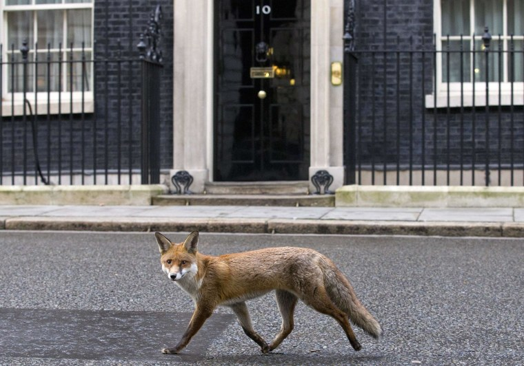 Image: A fox runs past the door of 10 Downing Street on Jan. 13.