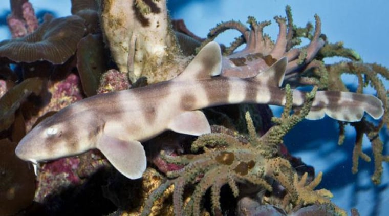 Image: Brownbanded bamboo shark pup