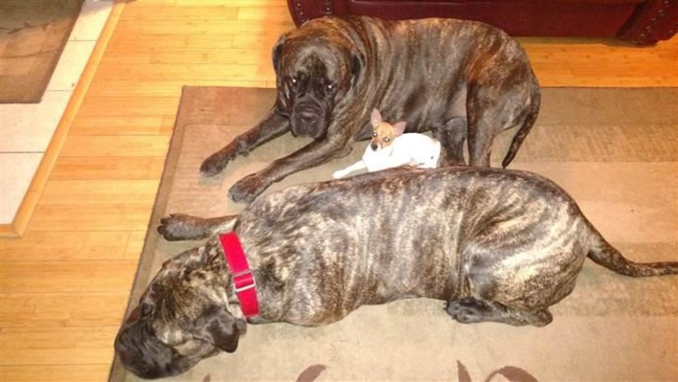 Spot relaxes with Stephanie Gonzales' other dogs, Petra and Junos.