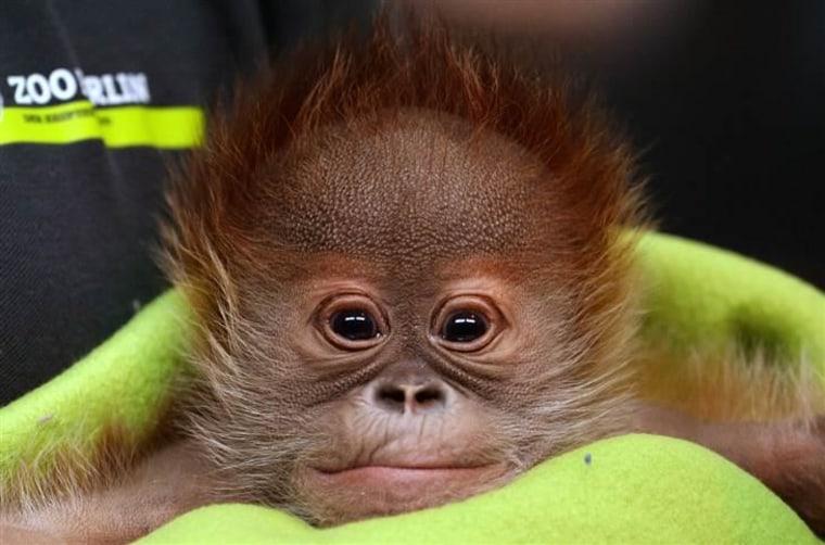 Newborn orangutan Rieke is presented to the press at Berlin Zoo, in Berlin, Germany, on Feb. 6.