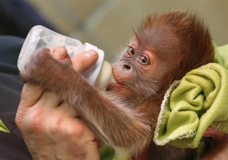 Three week old Rieke is fed a bottle by a zookeeper.