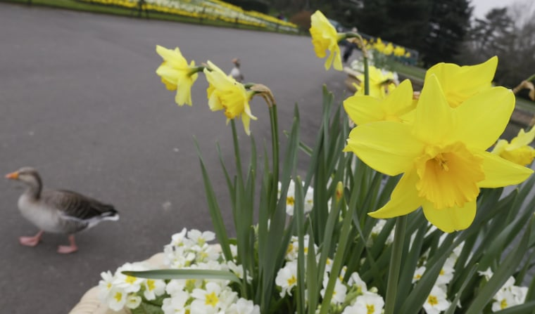 A duck walking past daffodils in bloom