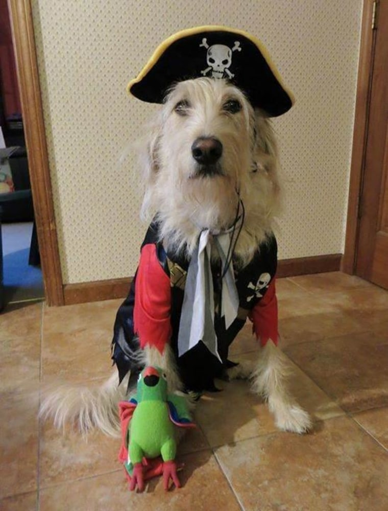 pirate halloween costume for pets dog and cat costumes