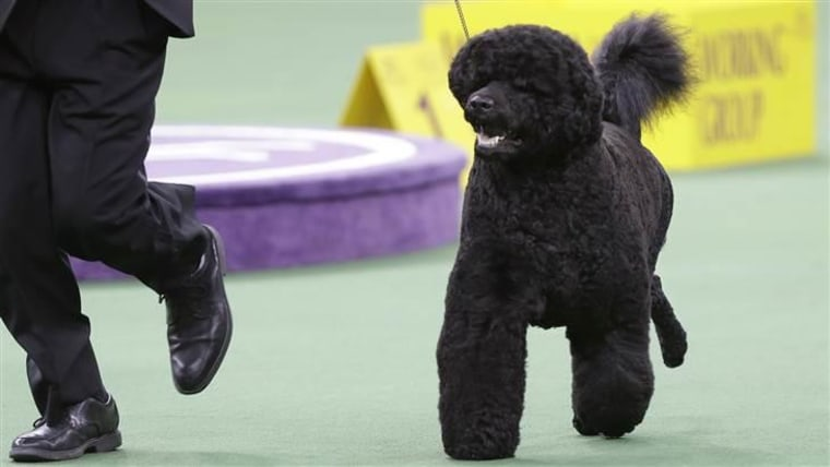 Matisse, a relative of the Obamas' dog Sunny, is the odds-on favorite to win Best in Show at Tuesday's Westminster Kennel Club show at Madison Square Garden.