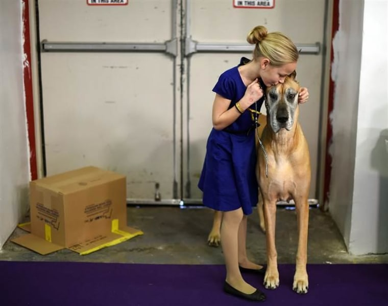 "Emma Rogers, 11, from Columbus, New Jersey, and Great Dane ""Joy"" in the benching area during the 2nd day of the Westminster show."