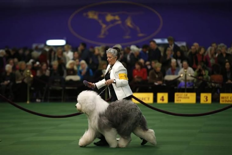 Texas Dog At Westminster Show