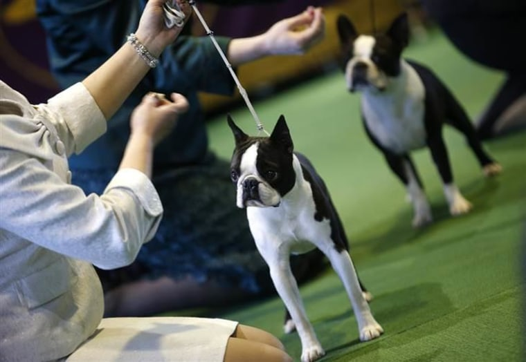 Boston Terriers stand in the ring during judging in the non-sporting group.