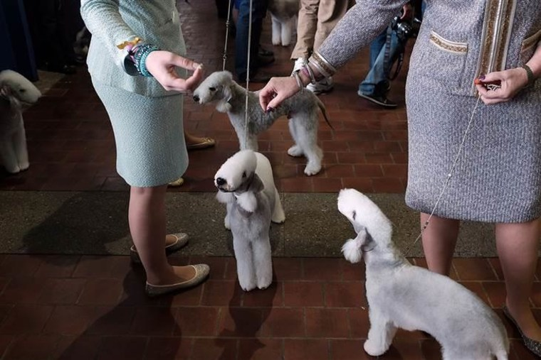 A viewing of Bedlington Terriers.