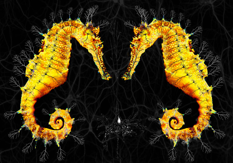 Image: Seahorses and neurons