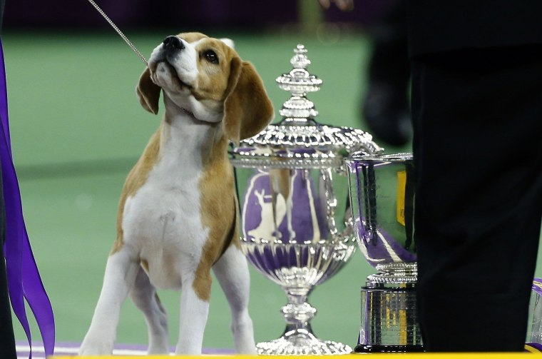 IMAGE: Miss P, winner of Best in Show at Westminster