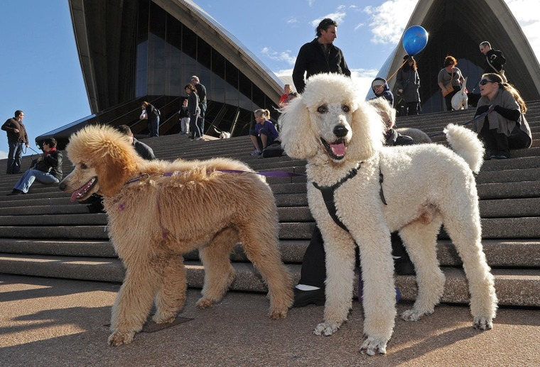 Poodles wait on the steps of the Sydney Opera House