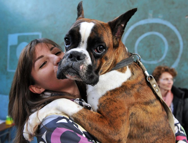 A Boxer is held during a dog exhibition in Kyrgyzstan