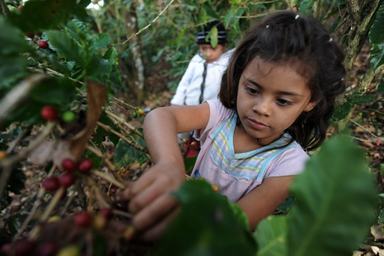 Image: A child harvests coffee beans in the dep