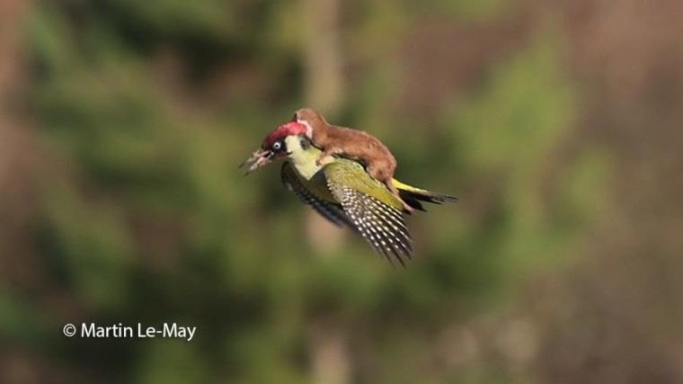 A weasel attacks a woodpecker in this photo captured by amateur British photographer Martin Le-May.