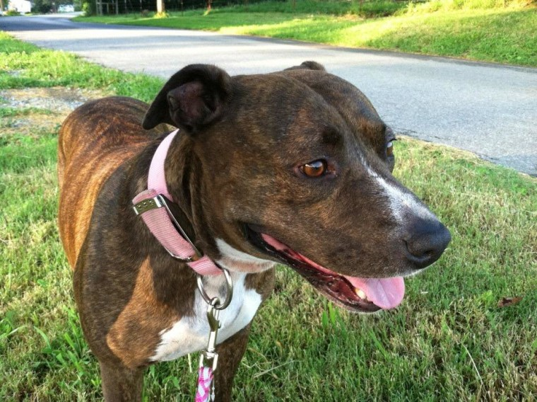 6-year-old Pit bull Bossy, who had to be put down this December after health complications owner Julie Hyde, of Sandwich, Illinois, believes could be related to Purina's Beneful dog food.