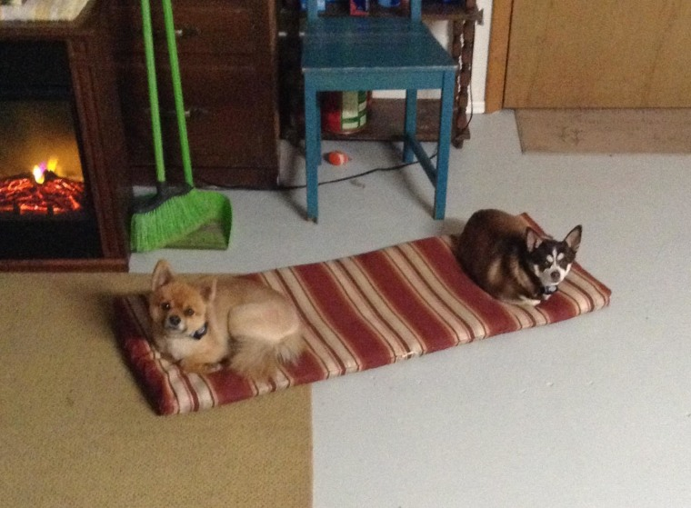 Dusty, a 4-year-old Pomeranian and Hercules, a 7-year-old Chihuahua.