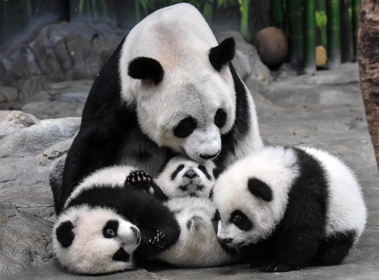 Image: Panda mother Ju Xiao plays with her triplet cubs
