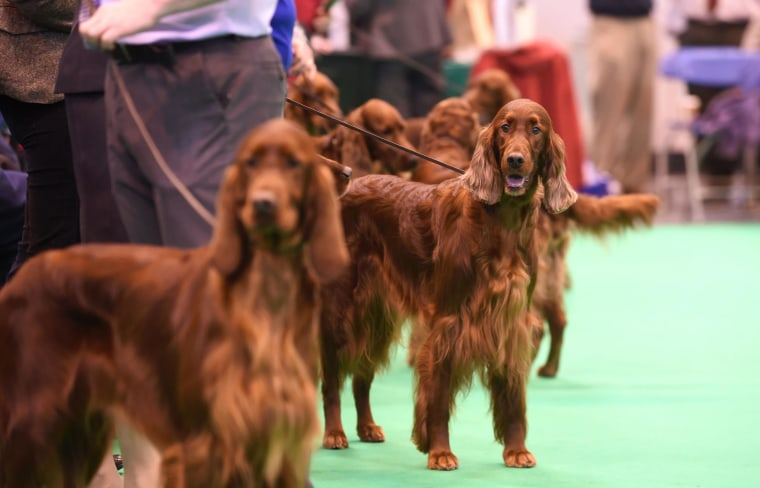 Image: Irish red setters at Crufts 2015 on Thursday