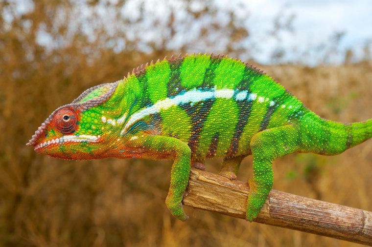 Image: Chameleon