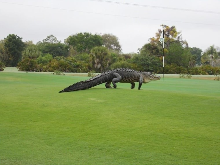 Image: An alligator was spotted at the Myakka Pines Golf Club in Florida on Friday, March 6