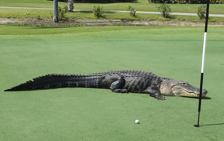Image: An American alligator estimated to be 12-13 feet long lies on the putting green of Myakka Pines Golf Club in Englewood