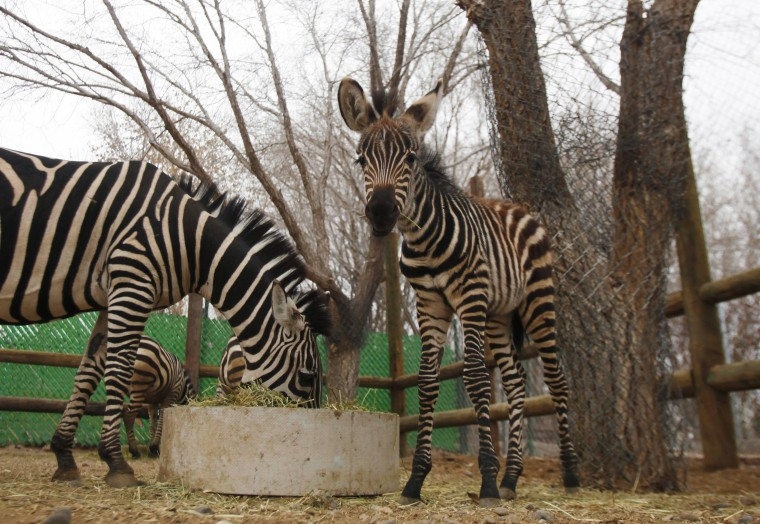 Image: File photo of zebras