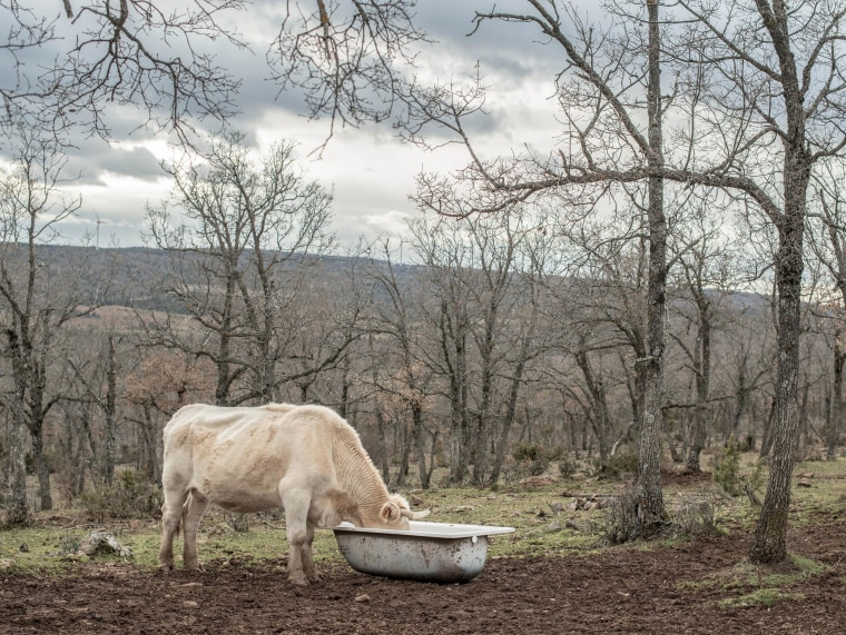 Image: Cow eating feed