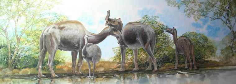 """An illustration shows Macrauchenia, a humpless camel with an extended snout, in its Pleistocene environment. The creature is part of a group of animals known as South American ungulates. Macrauchenia is thought to have lived between 7 million and 10,000 years ago. This illustration by Peter Schouten is from the forthcoming book """"Biggest, Fiercest, Strangest"""" by Ross MacPhee, to be published by Norton Publishers."""