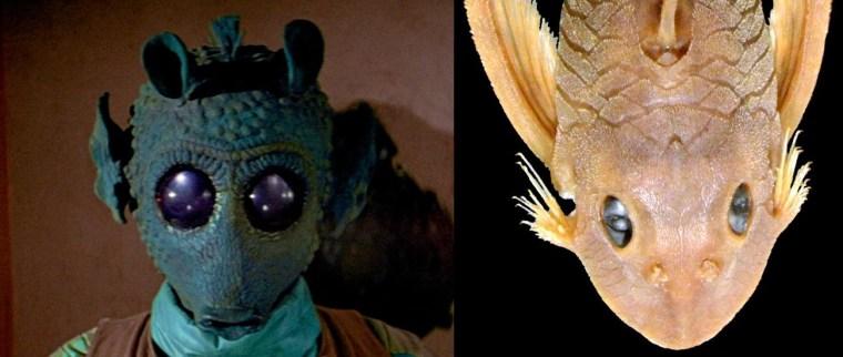Image: Suckermouth armored catfish (right) and Star Wars bounty hunter Greedo