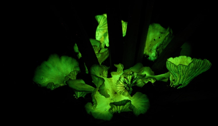 Far Out, Man! Scientists Figure Out Why Some Mushrooms Glow