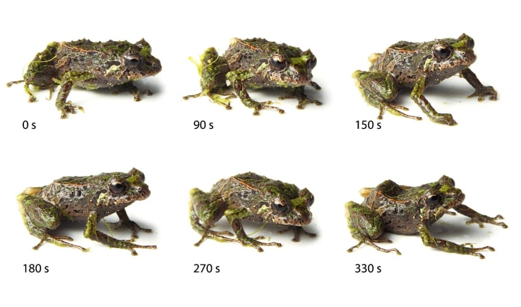 Photo series showing the mutable rain frog's spine retraction process over a period of about 5 minutes.