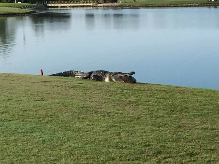 Image: An alligator eats a turtle at the Myakka Pines Golf Course in Florida.