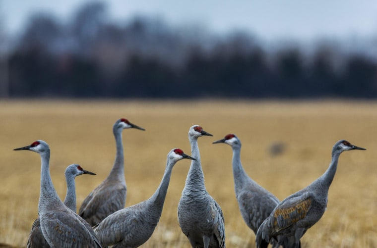 Image: Sandhill Crane Migration in Central Nebraska