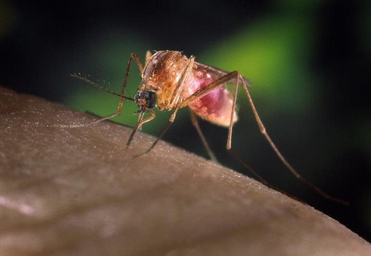 Image: Mosquito