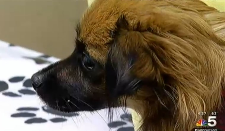 Researchers say a recent canine influenza outbreak that has sickened more than 1,000 dogs in the Chicago area is a strain of the virus that has never been seen before in the United States.