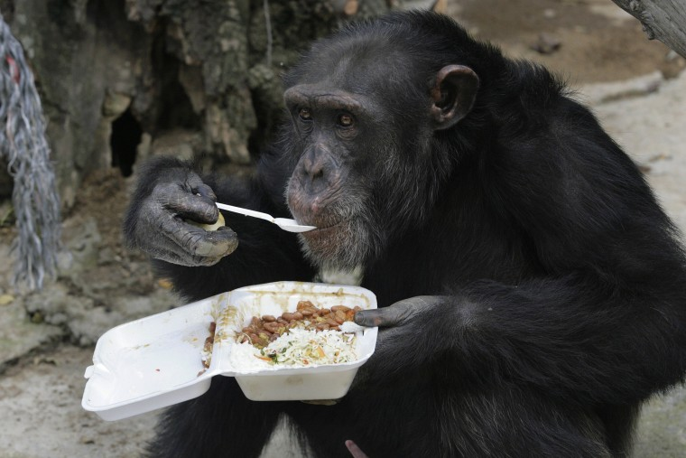 Image: A chimpanzee eats its lunch using a spoon at Villa Lorena animal refugee center in Cali