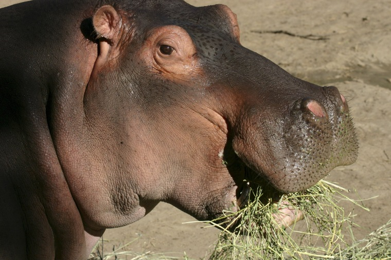 Image: Handout photo from Denver Zoo of Bertie, a 58-year-old male hippopotamus