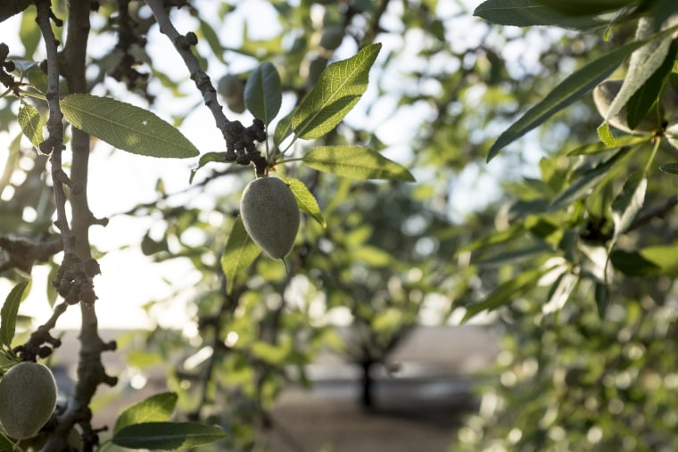 An almond grows at the Rogers family farm in Madera, California