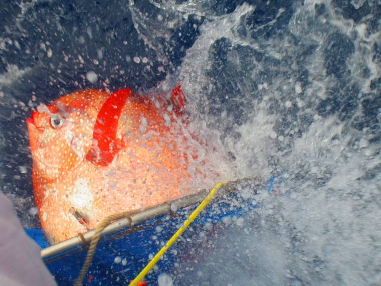 An opah is released with sensors to track temperatures as it dives off the California Coast in this undated handout photo provided by NOAA Fisheries/Southwest Fisheries Science Center.
