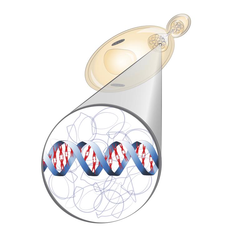 Image: Humanized yeast