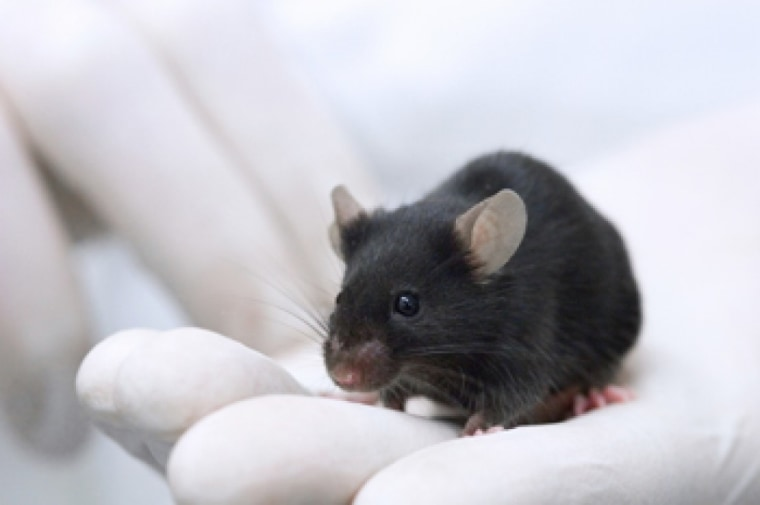 Image: Lab mouse