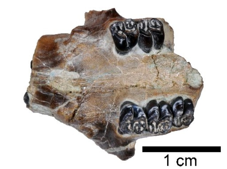 Image: Ancient beaver fossil