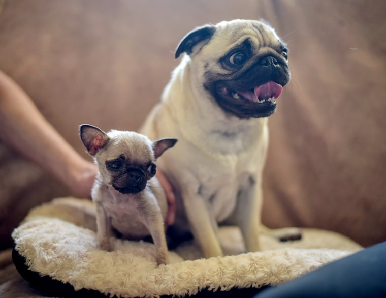Smallest Dog In The World Pip The Pug Just Might Be It