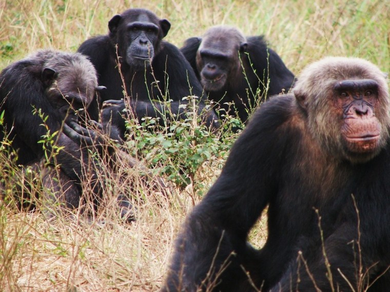 Image: Chimpanzees at the Tchimpounga Sanctuary in the Republic of Congo