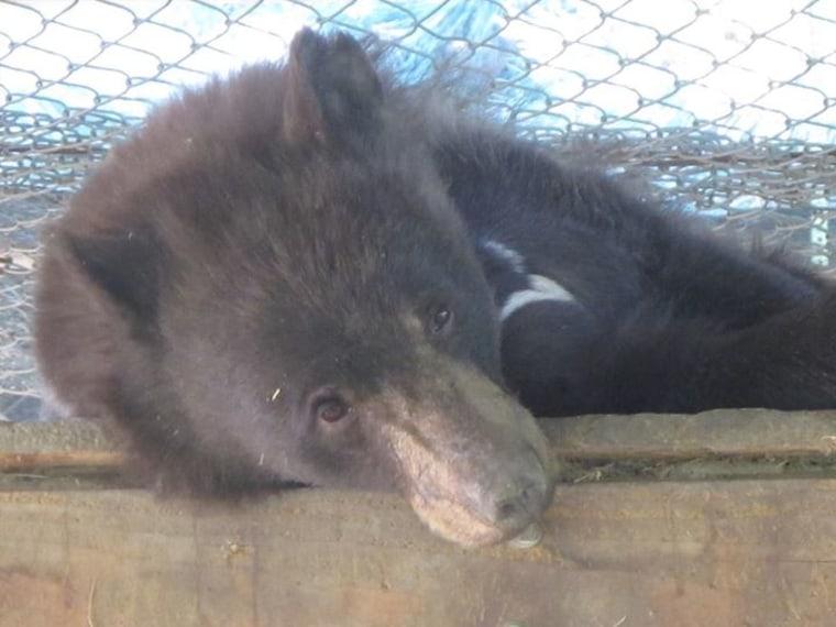 Cinder the bear at rehab center in Idaho.