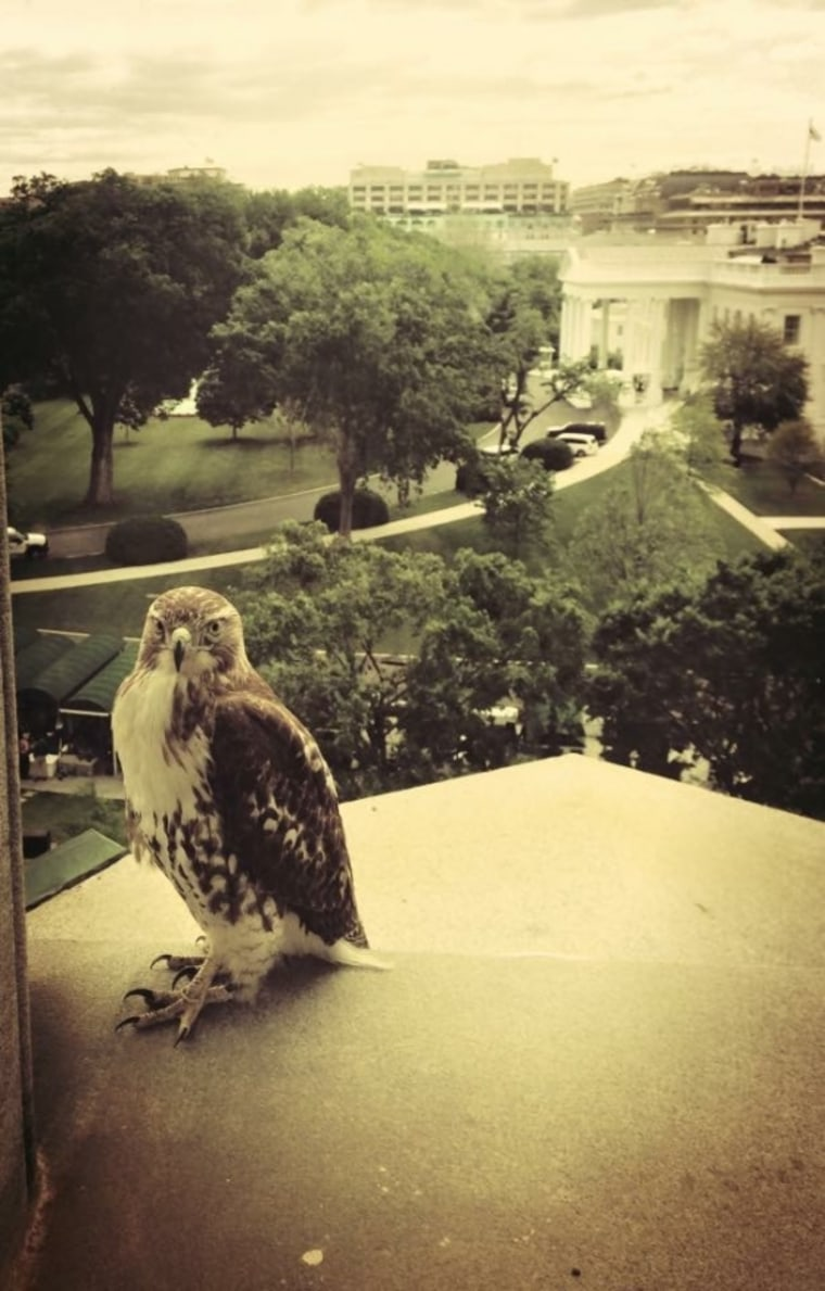 IMAGE: Hawk at White House